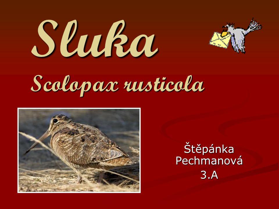 Sluka Scolopax rusticola Štěpánka Pechmanová 3.A