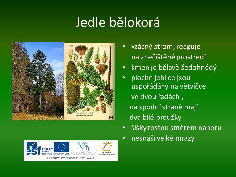 Jedle bělokorá vzácný strom, reaguje na znečištěné prostředí kmen je bělavě šedohnědý ploché jehlice jsou uspořádány na větvičce ve dvou řadách, na spodní straně mají dva bílé proužky šišky rostou směrem nahoru nesnáší velké mrazy [8][8][9][9]