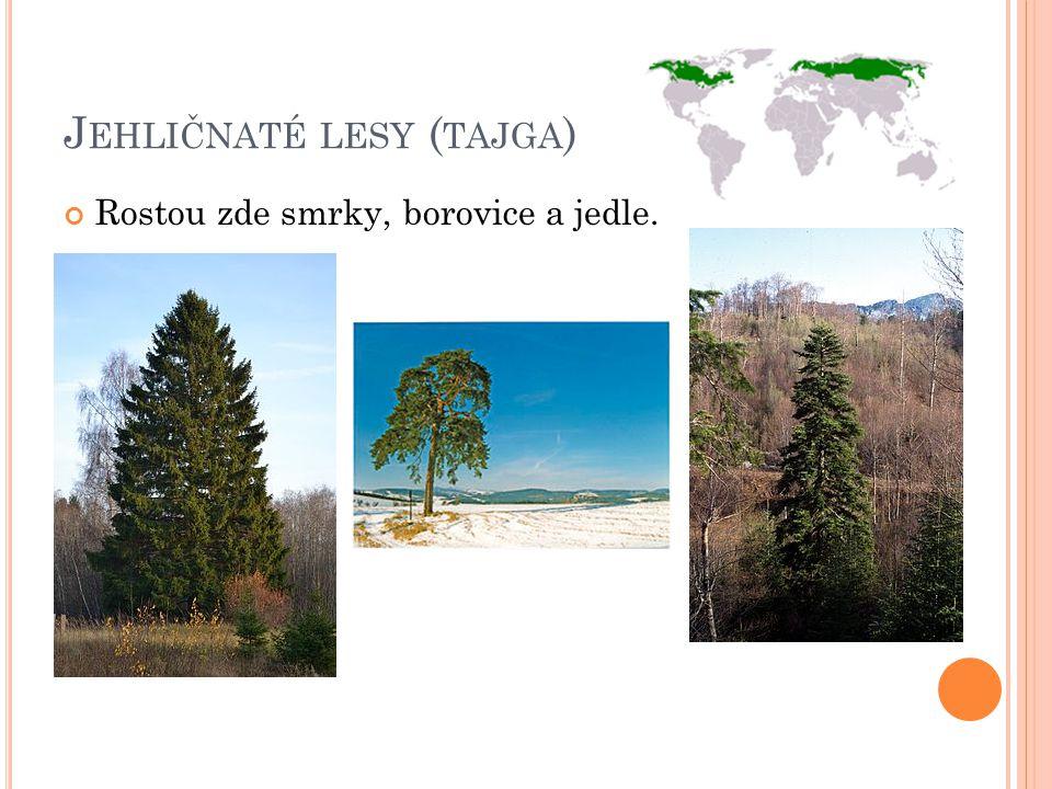 J EHLIČNATÉ LESY ( TAJGA ) Rostou zde smrky, borovice a jedle.