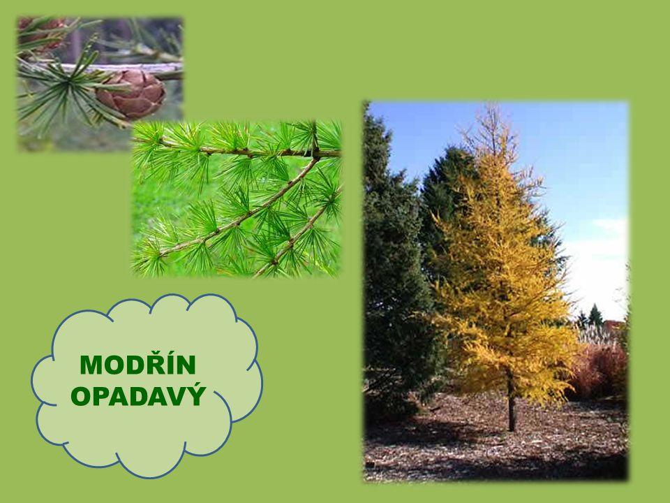Hlavní znaky borovice: Tuhé jehlice rostou na větvích po dvou Kořeny rostou do hloubky, proto se borovice ve větru zlomí, ale nevyvrátí Borové dřevo k