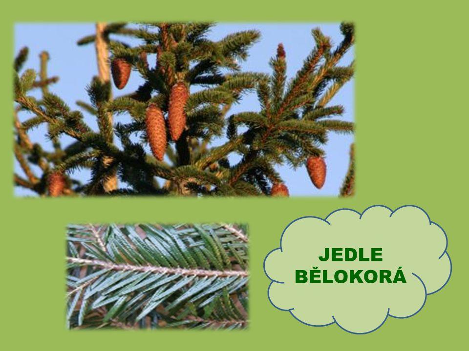 Hlavní znaky modřínu: jehlice vyrůstají na větvích ve svazečcích jediný náš jehličnan, který na zimu opadává
