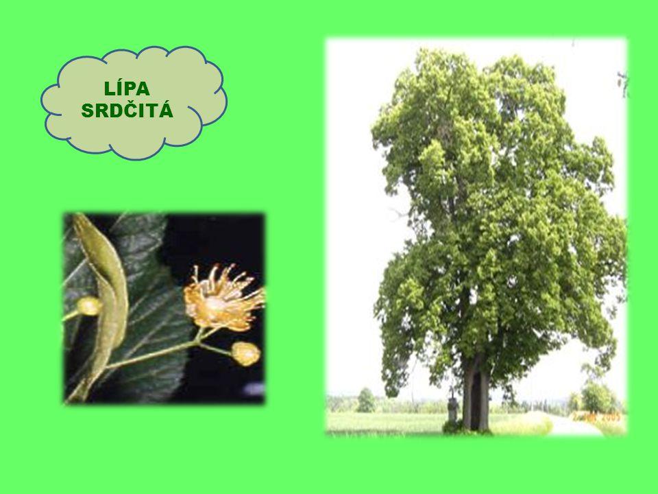 Hlavní znaky břízy: nápadný kmen- bělavá barva listy raší brzy na jaře a zároveň se zvětšují jehnědy její dřevo dobře hoří