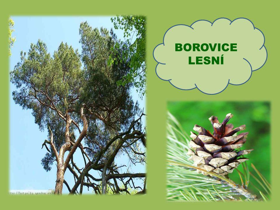 Hlavní znaky smrku: Kořeny rostou do stran, proto se smrky často vyvrací, ale nezlomí Nejčastějším stromem v našich lesích Dorůstá do výšky 50 až 60 m