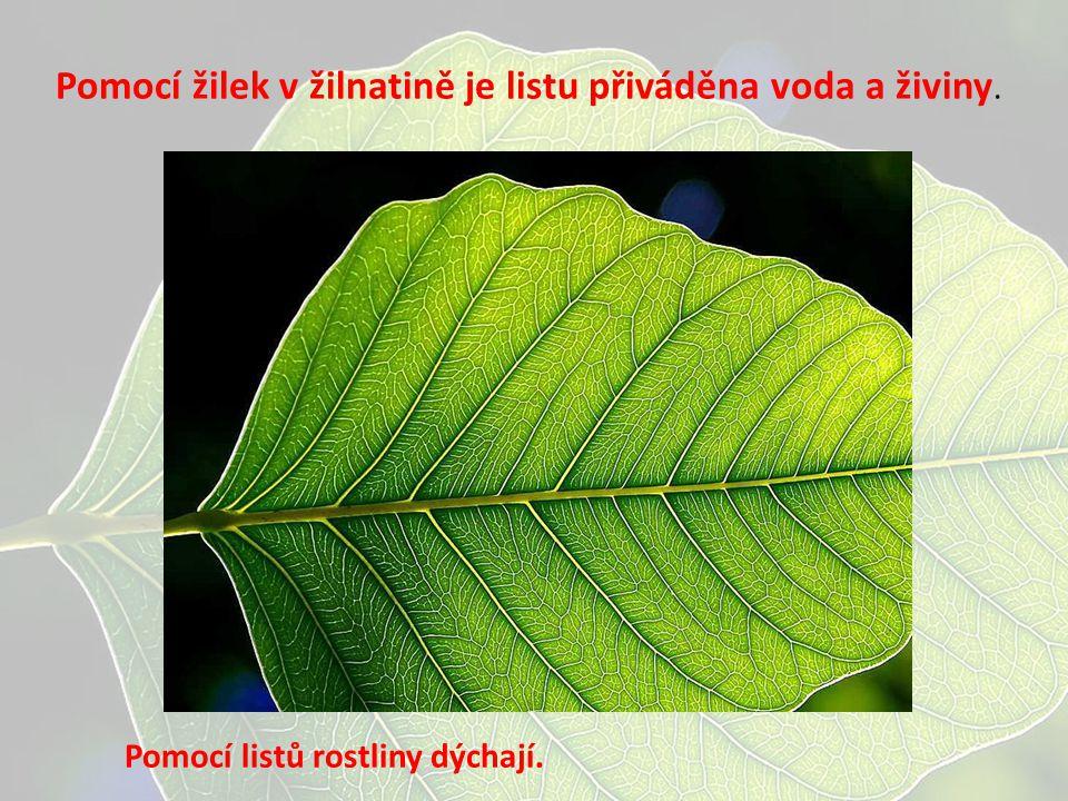 Pomocí žilek v žilnatině je listu přiváděna voda a živiny. Pomocí listů rostliny dýchají.