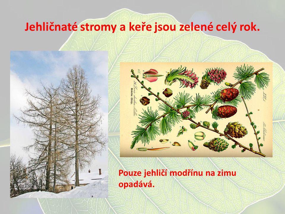 Jehličnaté stromy a keře jsou zelené celý rok. Pouze jehličí modřínu na zimu opadává.