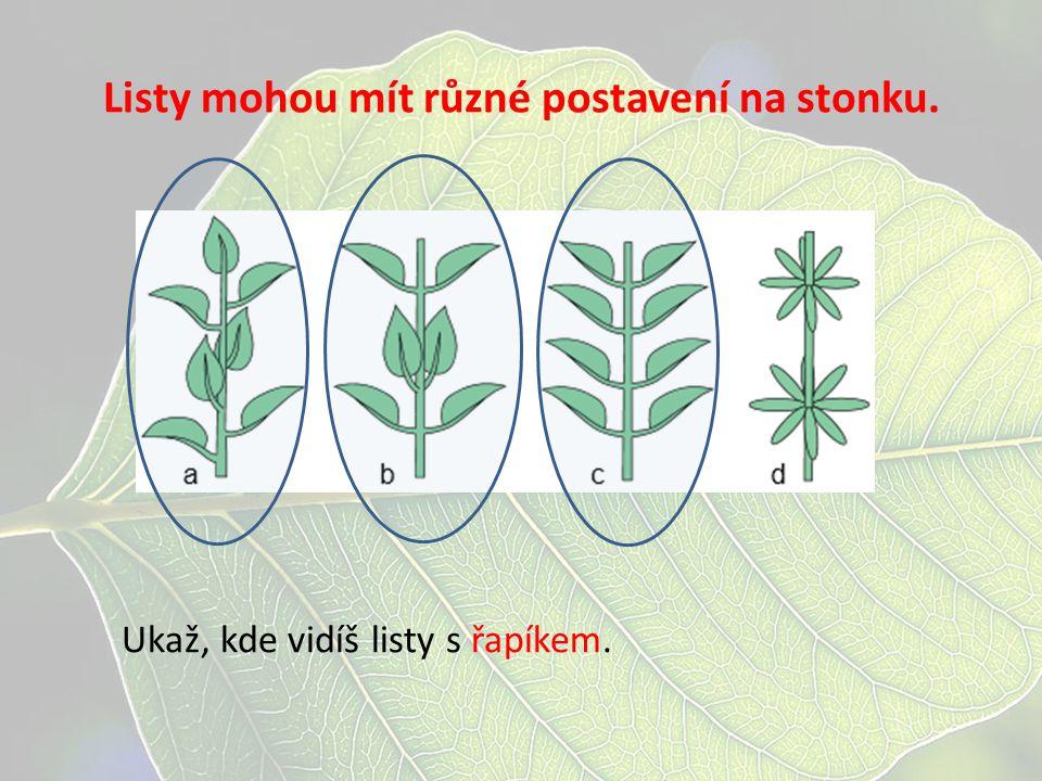 Listy mohou mít různé postavení na stonku. Ukaž, kde vidíš listy s řapíkem.