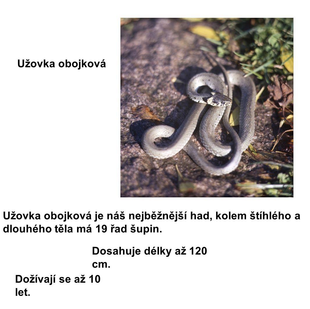 Užovka obojková je náš nejběžnější had, kolem štíhlého a dlouhého těla má 19 řad šupin.