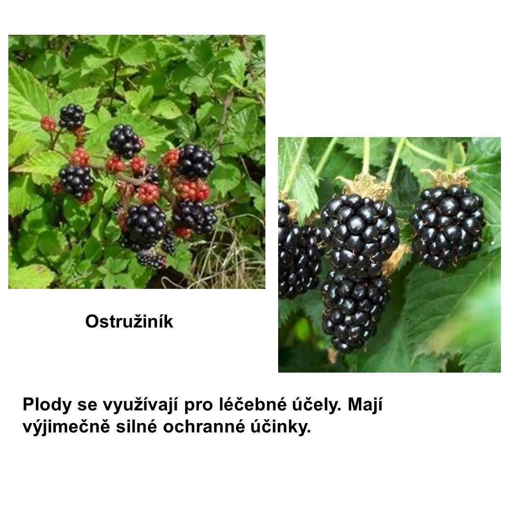 Plody se využívají pro léčebné účely. Mají výjimečně silné ochranné účinky. Ostružiník