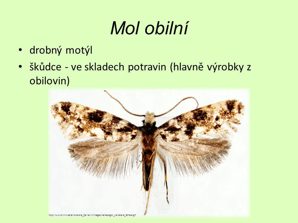 Mol obilní drobný motýl škůdce - ve skladech potravin (hlavně výrobky z obilovin) http://www2.nrm.se/en/svenska_fjarilar/n/images/nemapogon_variatella