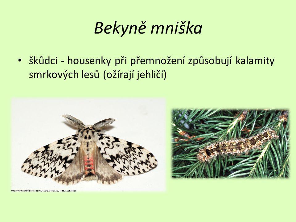 Bekyně mniška škůdci - housenky při přemnožení způsobují kalamity smrkových lesů (ožírají jehličí) http://farm3.static.flickr.com/2426/3754431360_4eb2