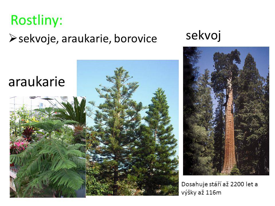Rostliny:  sekvoje, araukarie, borovice araukarie sekvoj Dosahuje stáří až 2200 let a výšky až 116m