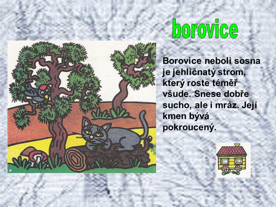 Patří mezi jehličnaté stromy. Daří se mu hlavně na horách a u nás je velice rozšířen. Z pichlavých větví visí podlouhlé šišky plné semen.