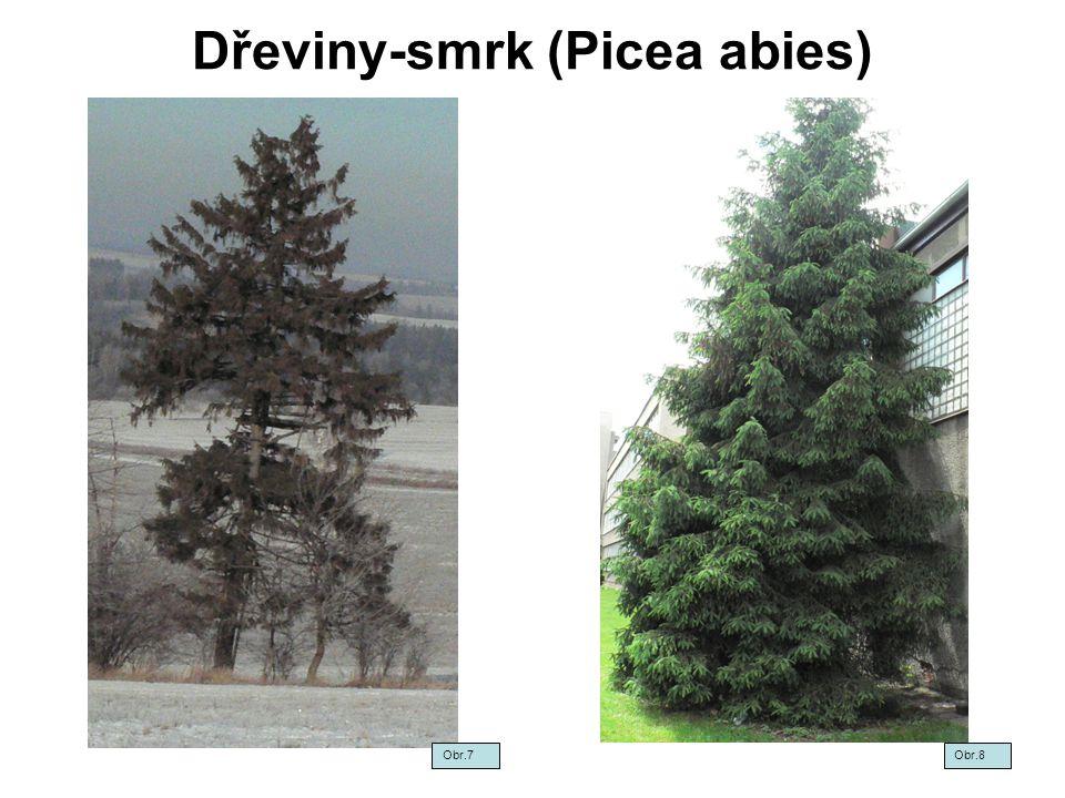 Dřeviny - smrk (Picea abies) Obr.9Obr.10