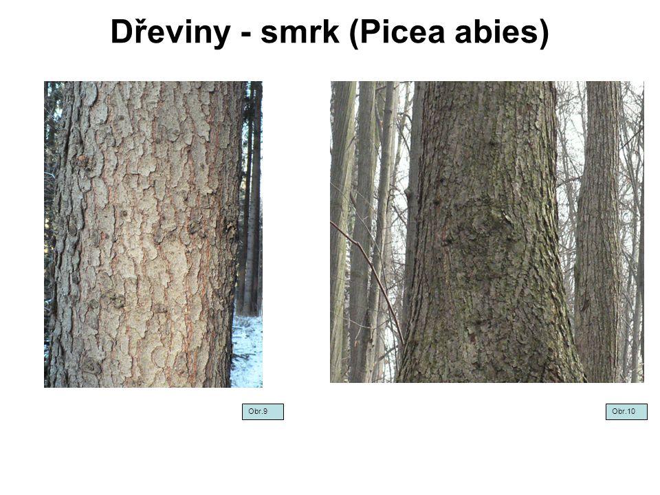 Dřeviny - smrk (Picea abies) Obr.11 Obr.12