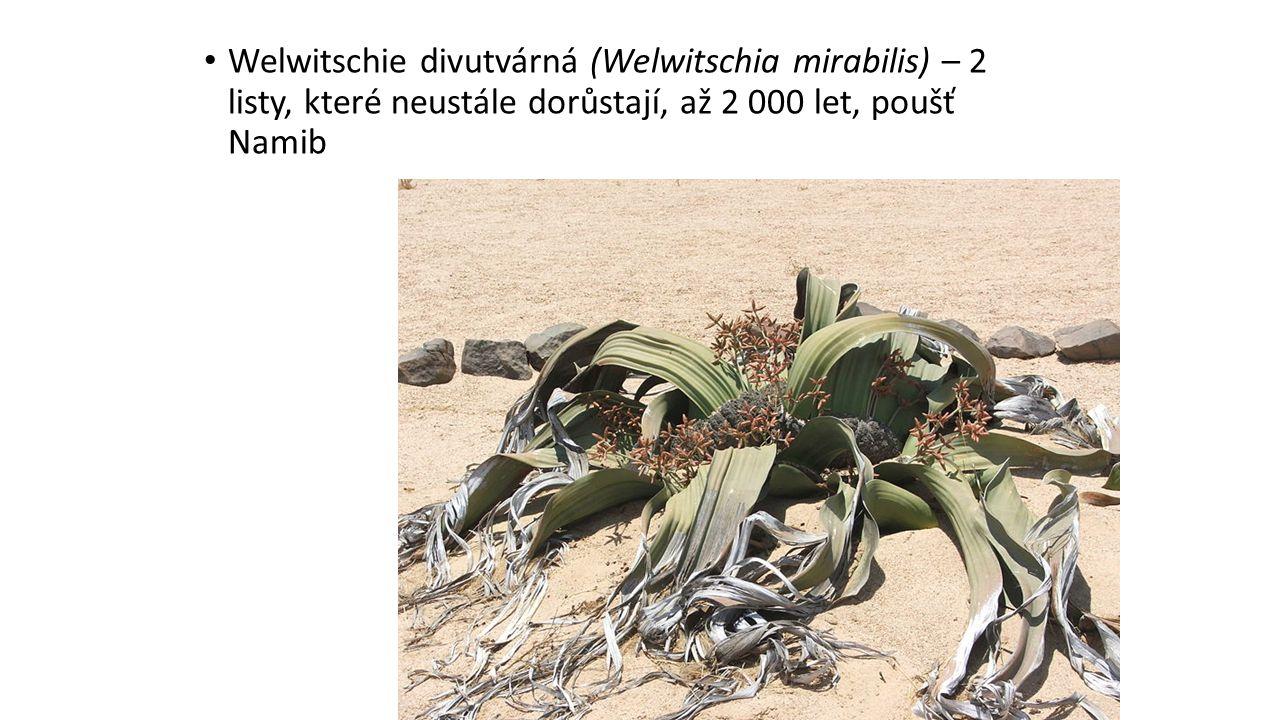 Welwitschie divutvárná (Welwitschia mirabilis) – 2 listy, které neustále dorůstají, až 2 000 let, poušť Namib
