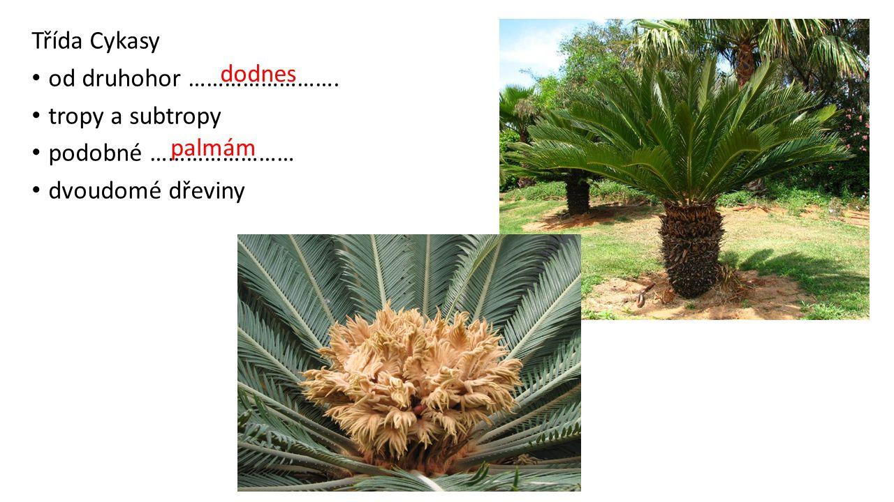 Třída Cykasy od druhohor ……………………. tropy a subtropy podobné …………………… dvoudomé dřeviny dodnes palmám