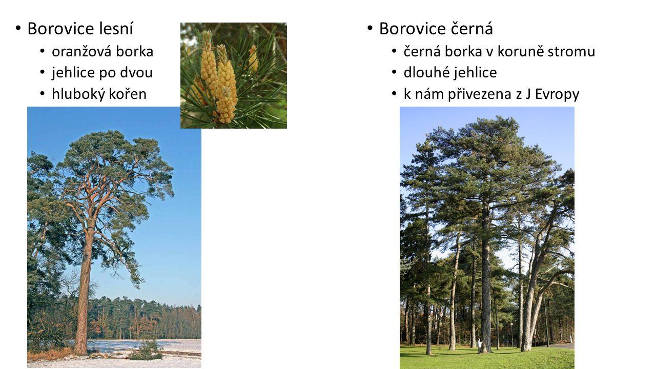 Borovice černá černá borka v koruně stromu dlouhé jehlice k nám přivezena z J Evropy Borovice lesní oranžová borka jehlice po dvou hluboký kořen