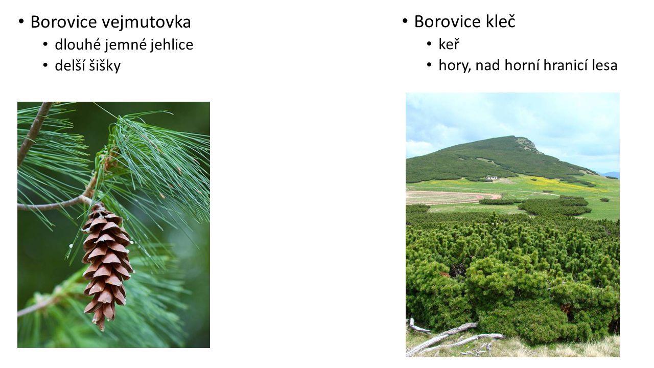 Borovice vejmutovka dlouhé jemné jehlice delší šišky Borovice kleč keř hory, nad horní hranicí lesa