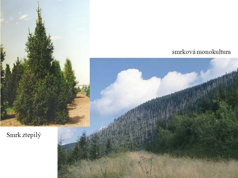 Borovice lesní (Pinus sylvestris) jehlice: po dvou, dlouhé, zašedlé šišky: drobné dřevo: spíše palivo mohutný hluboko jdoucí hlavní kořen široce rozestřená až plochá koruna dorůstá výšky až 40 m dožívá stáří 300 - 350 let