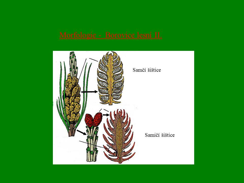 Morfologie - Borovice lesní II. Samčí šištice Samičí šištice