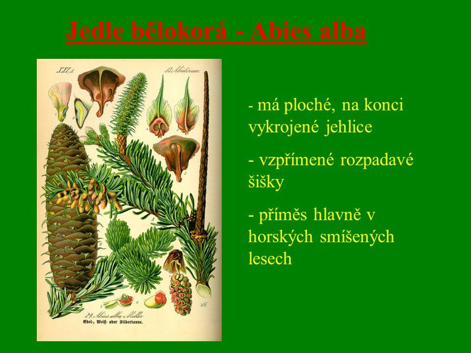 Jedle bělokorá - Abies alba - má ploché, na konci vykrojené jehlice - vzpřímené rozpadavé šišky - příměs hlavně v horských smíšených lesech