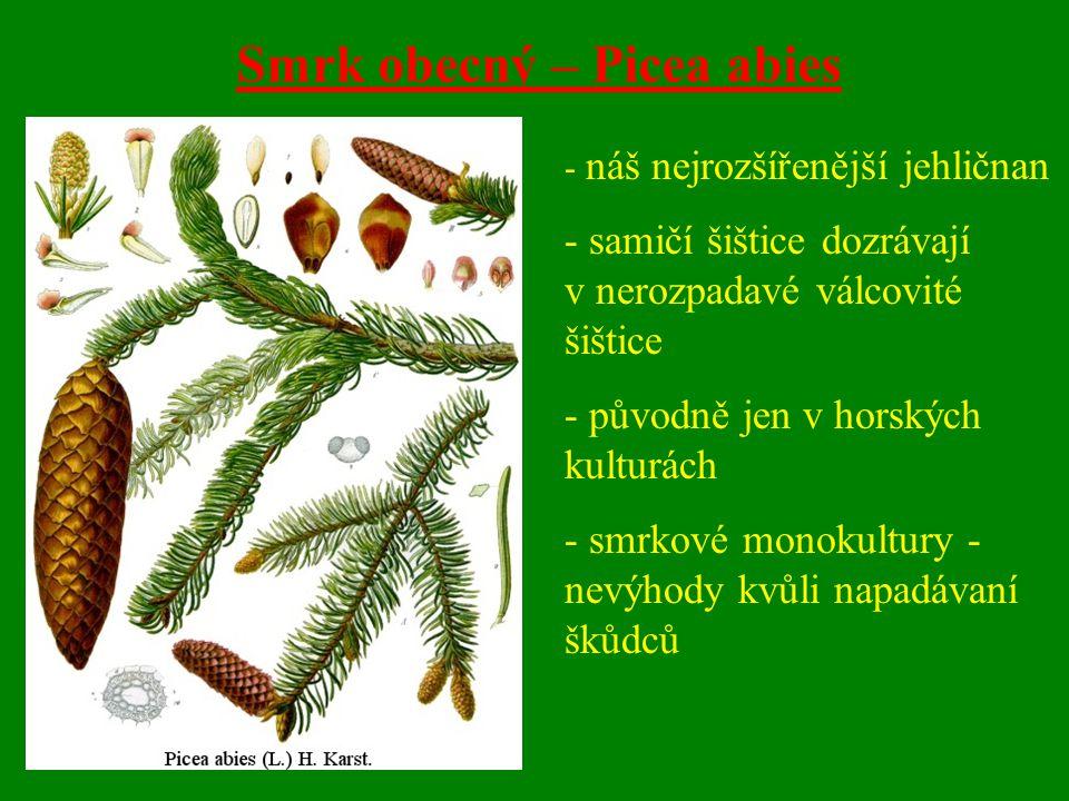 Smrk obecný – Picea abies - náš nejrozšířenější jehličnan - samičí šištice dozrávají v nerozpadavé válcovité šištice - původně jen v horských kulturách - smrkové monokultury - nevýhody kvůli napadávaní škůdců