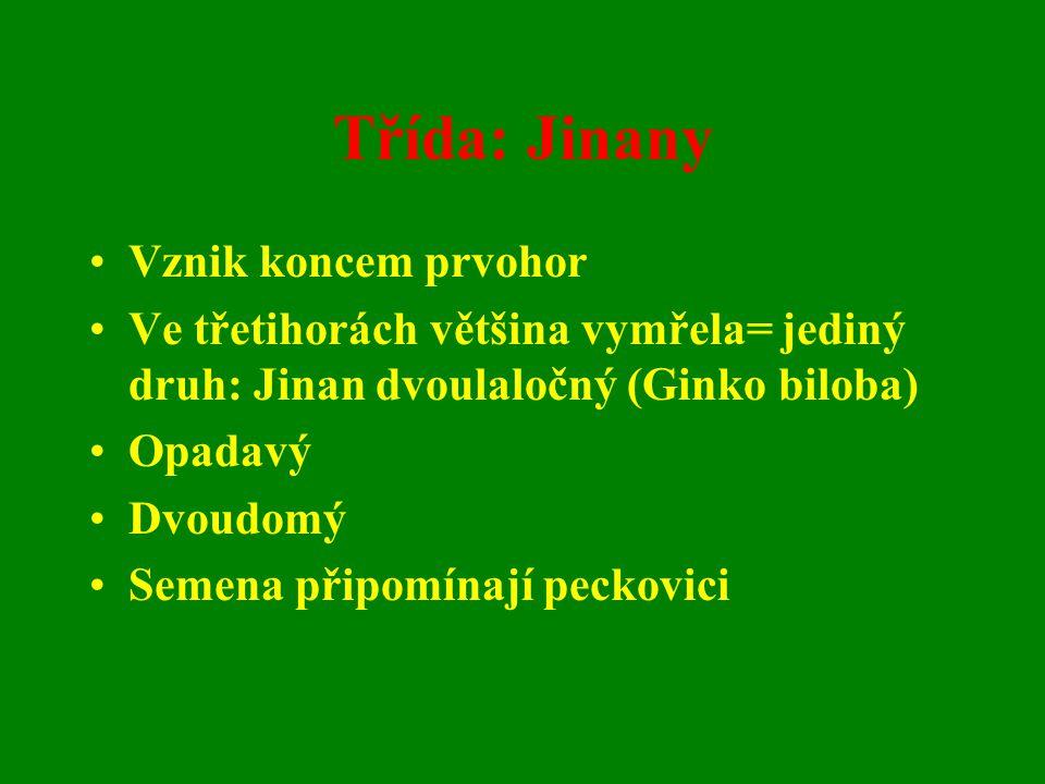 Třída: Jinany Vznik koncem prvohor Ve třetihorách většina vymřela= jediný druh: Jinan dvoulaločný (Ginko biloba) Opadavý Dvoudomý Semena připomínají p