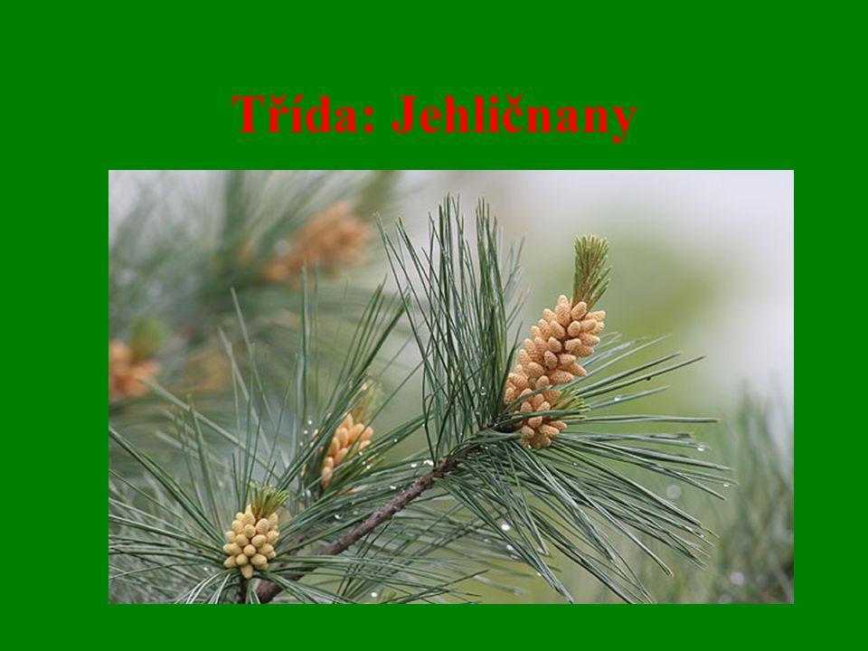 Charakteristické znaky : - stálozelené dřeviny, stromy a keře - listy šupinovité a jehlicovité, silná epidermis s kutikulou, přítomny pryskyřičné kanálky - samčí a samičí šištice - vajíčko leží volně na plodolistu - pokrývají 1/3 plochy všech lesů na Zemi, těží se z nich 75% celosvětové spotřeby dřeva