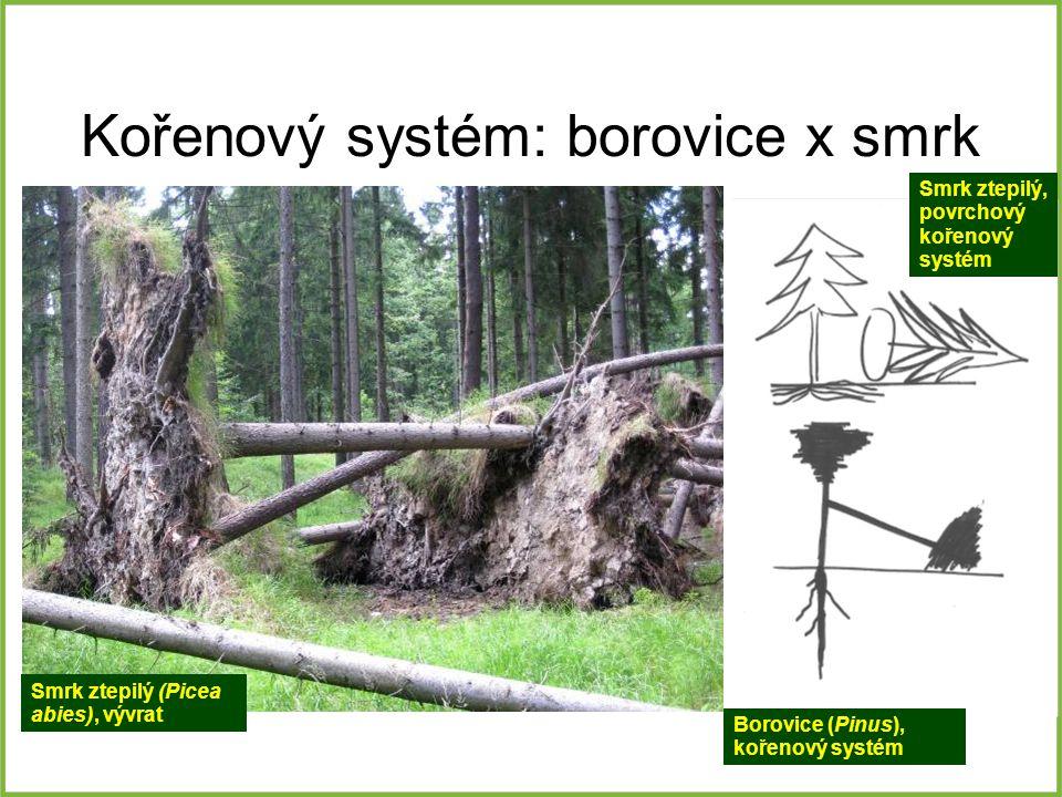 Kořenový systém: borovice x smrk Borovice (Pinus), kořenový systém Smrk ztepilý, povrchový kořenový systém Smrk ztepilý (Picea abies), vývrat