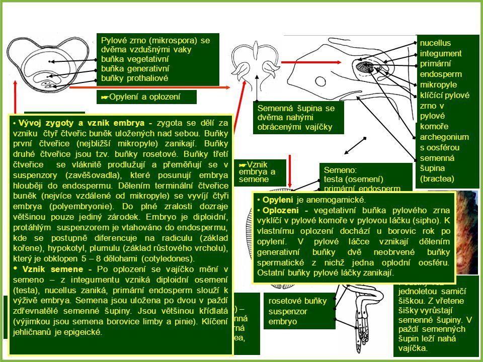 nucellus integument primární endosperm mikropyle klíčící pylové zrno v pylové komoře archegonium s oosférou semenná šupina (bractea) Mikrostrobilus (s