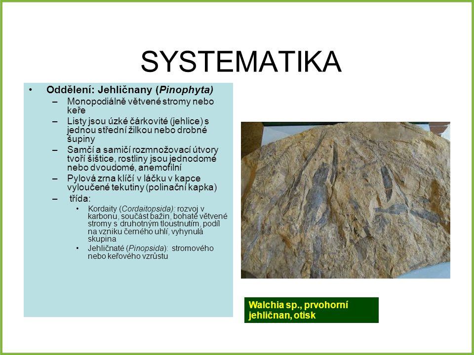 SYSTEMATIKA Oddělení: Jehličnany (Pinophyta) –Monopodiálně větvené stromy nebo keře –Listy jsou úzké čárkovité (jehlice) s jednou střední žilkou nebo