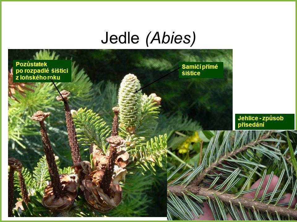 Jedle (Abies) Jehlice - způsob přisedání Pozůstatek po rozpadlé šištici z loňského roku Samičí přímé šištice