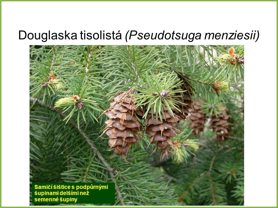 Douglaska tisolistá (Pseudotsuga menziesii) Samičí šištice s podpůrnými šupinami delšími než semenné šupiny