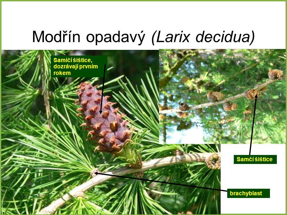 Modřín opadavý (Larix decidua) Samčí šištice brachyblast Samičí šištice, dozrávají prvním rokem