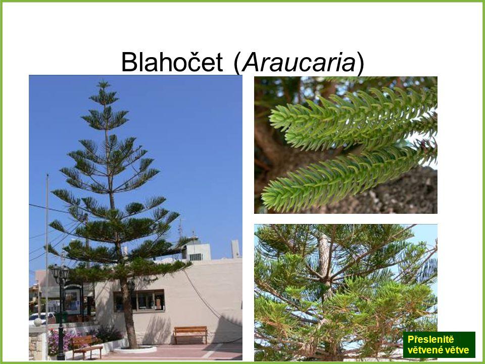 Blahočet (Araucaria) Přeslenitě větvené větve