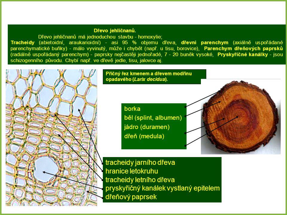 tracheidy jarního dřeva hranice letokruhu tracheidy letního dřeva pryskyřičný kanálek vystlaný epitelem dřeňový paprsek Příčný řez kmenem a dřevem mod