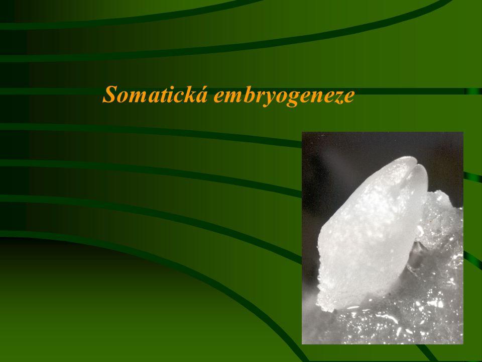 Proces, kdy ze somatické buňky vzniká samostatná bipolární struktura, která se vyvíjí podobně jako zygotické embryo V přírodních podmínkách: ApomixiePolyembryonie Vývin rostlinek z marginálních meristémů (Bryophyllum)