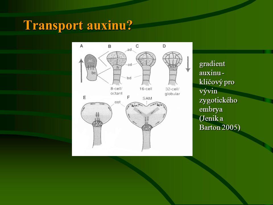 Transport auxinu? gradient auxinu - klíčový pro vývin zygotického embrya (Jenik a Barton 2005)