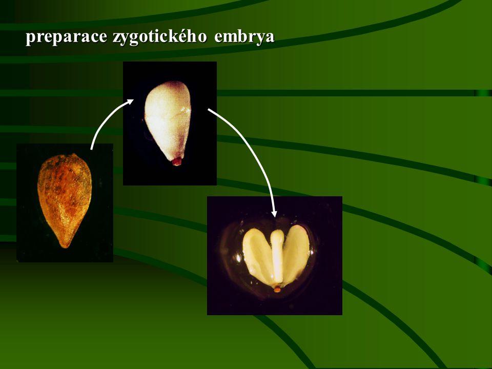 preparace zygotického embrya