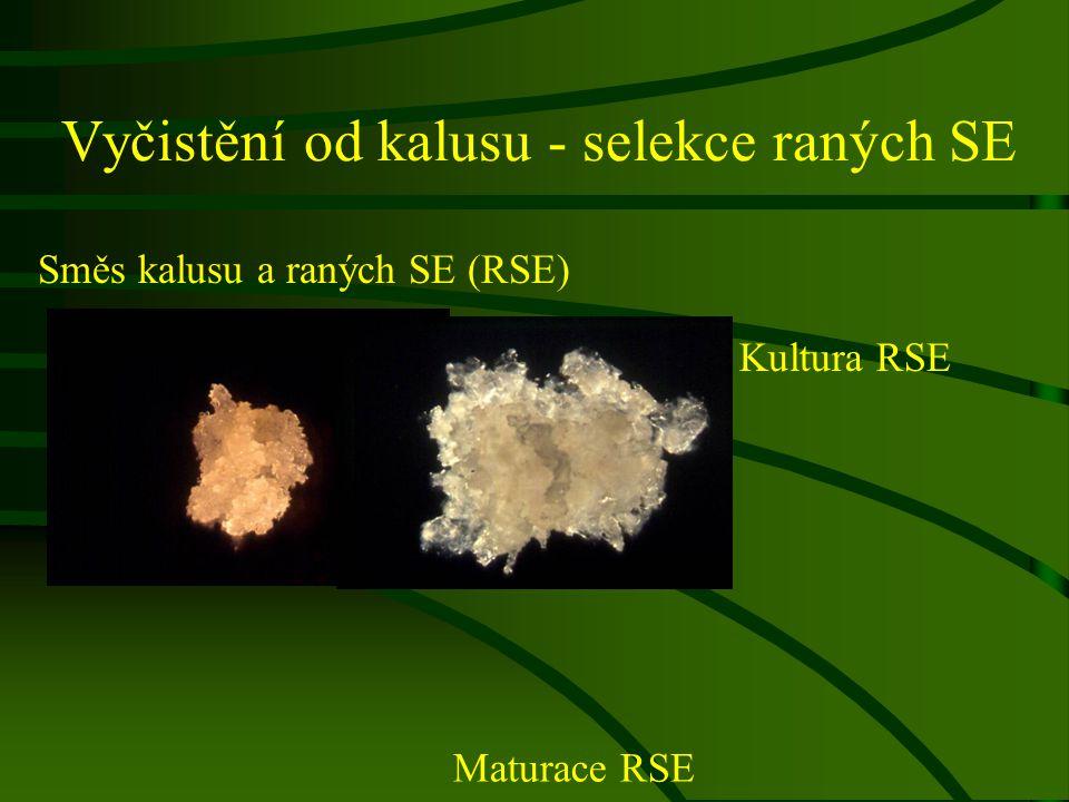 Vyčistění od kalusu - selekce raných SE Směs kalusu a raných SE (RSE) Kultura RSE Maturace RSE