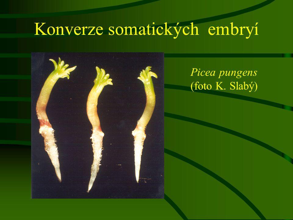Konverze somatických embryí Picea pungens (foto K. Slabý)