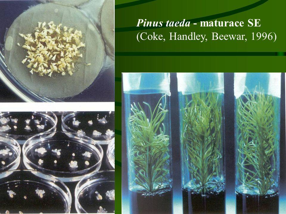 Pinus taeda - maturace SE (Coke, Handley, Beewar, 1996)
