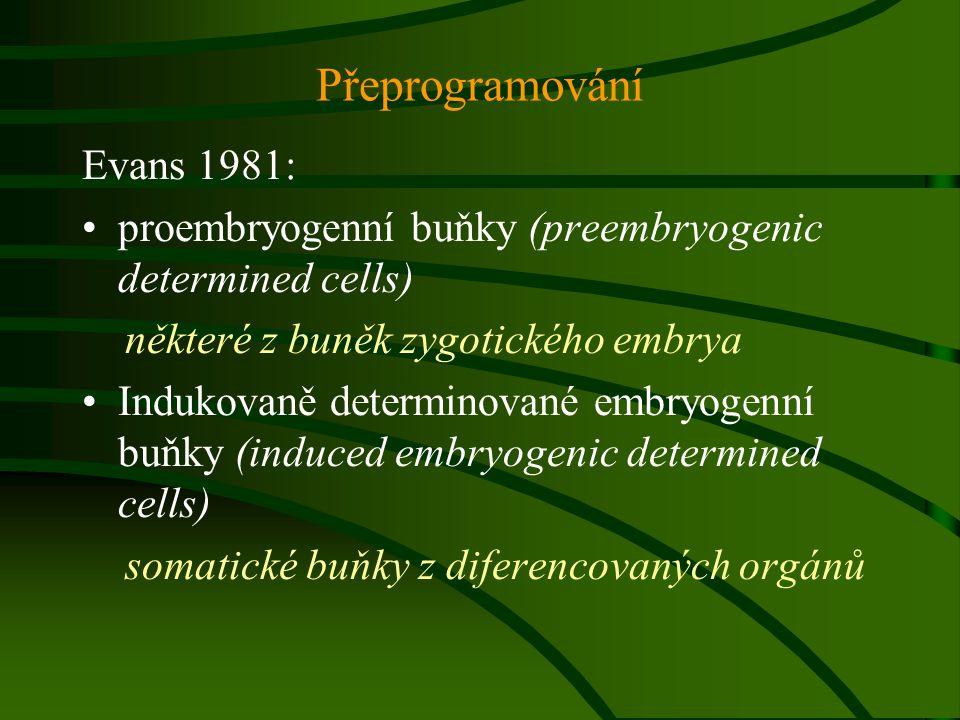 Vzniká somatické embryo z jedné buňky.
