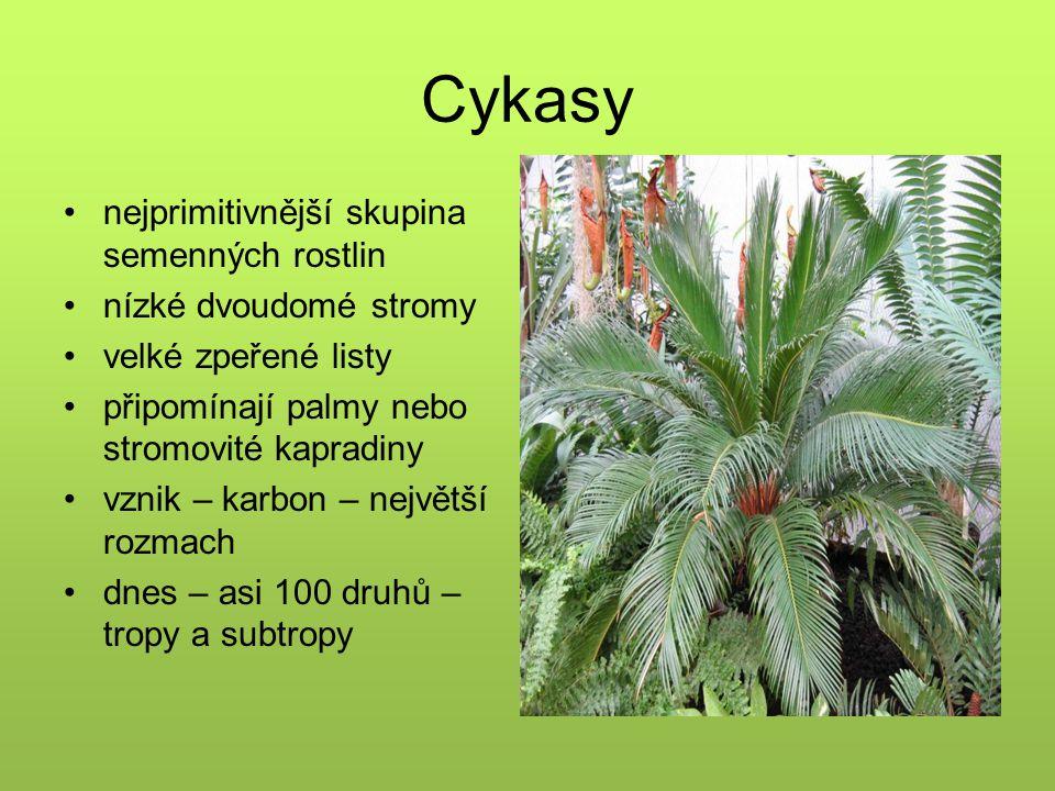 Cykasy nejprimitivnější skupina semenných rostlin nízké dvoudomé stromy velké zpeřené listy připomínají palmy nebo stromovité kapradiny vznik – karbon – největší rozmach dnes – asi 100 druhů – tropy a subtropy