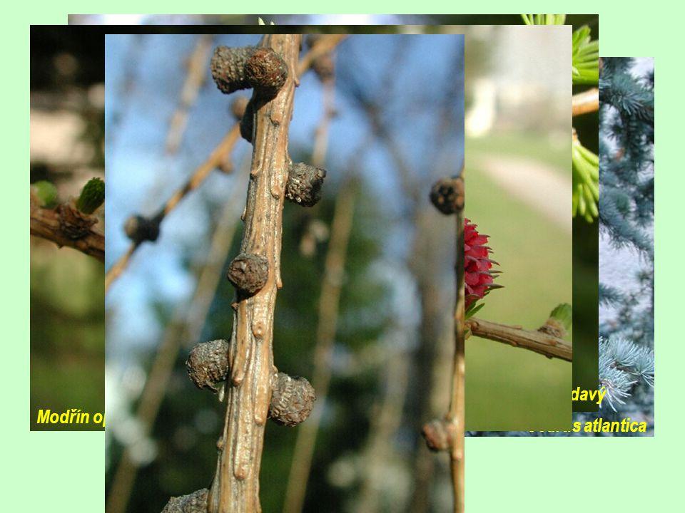 Cedrus atlantský (4)  Vždyzelené stromy  Šištice dozrávají až po opadnutí na zem  Pohoří Alžírska a Maroka Modřín opadavý /Larix decidua/ (10)  Opadavé stromy, pylová zrna bez vzdušných váčků  Nápadné brachyblasty, krátké jehlice  Nerozpadavé šištice Cedrus atlantica Modřín opdavý Modřín opadavý
