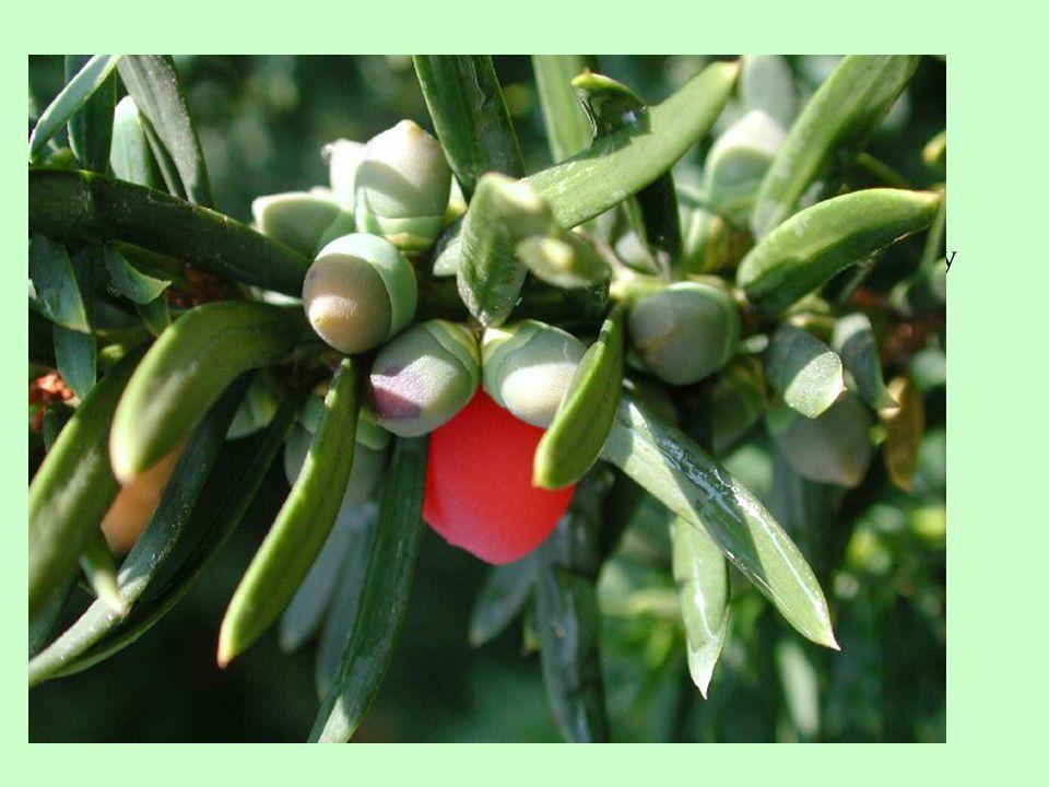 Tis červený /Taxus baccata/  vždyzelené stromy nebo keře, zpravidla dvoudomé  listy vyrůstají ve šroubovici, mohou být následně uspořádány dvoustranně  semeno obaleno dužnatým míškem  kromě míšku je celá rostlina jedovatá