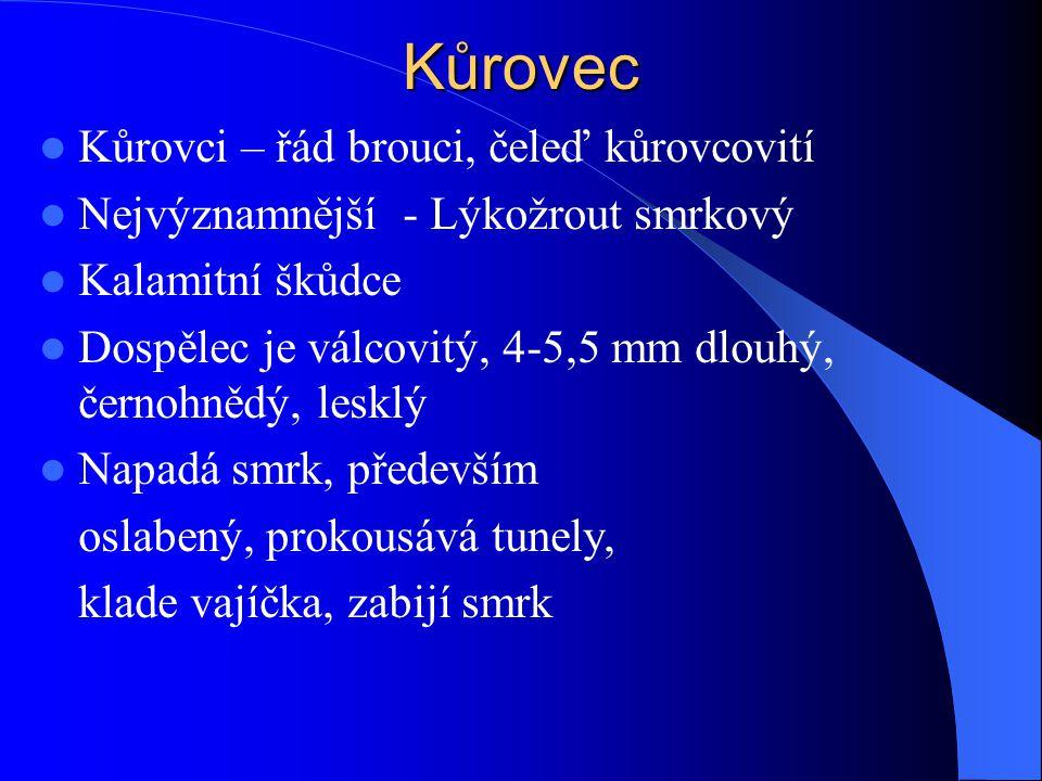 Kůrovec Kůrovci – řád brouci, čeleď kůrovcovití Nejvýznamnější - Lýkožrout smrkový Kalamitní škůdce Dospělec je válcovitý, 4-5,5 mm dlouhý, černohnědý