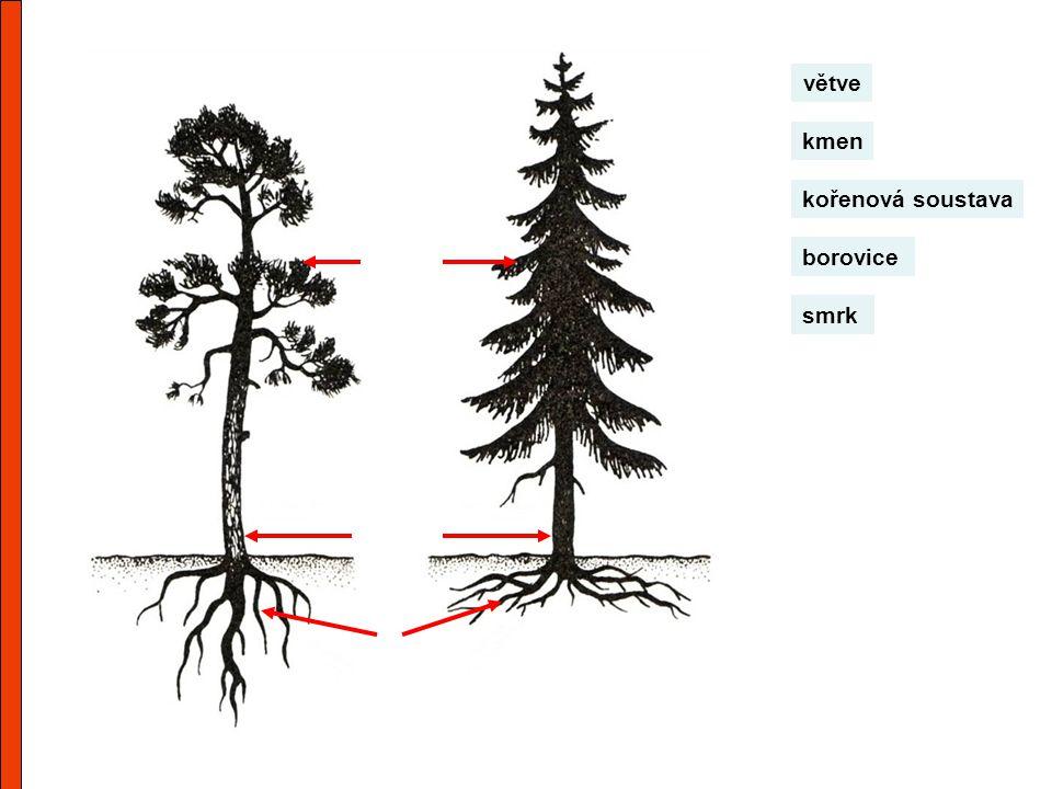kmen větve kořenová soustava borovice smrk
