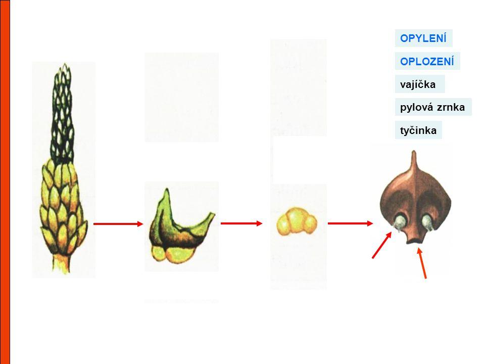 tyčinka pylová zrnka OPYLENÍ OPLOZENÍ vajíčka