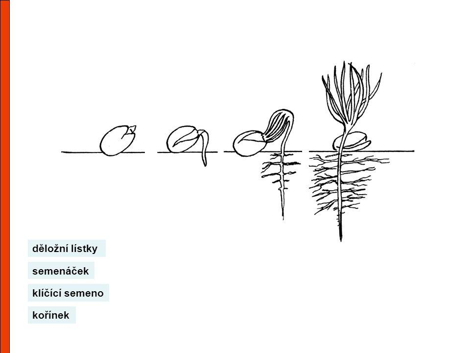 semenáček kořínek klíčící semeno děložní lístky